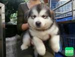 Chó Alaska mua giá bao nhiêu